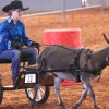 Gallery: Donkey trainer organizes, competes in state championship